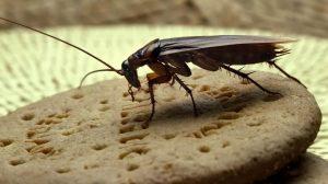 Таракан на продуктах питания, тараканы на еде, тараканы на кухне